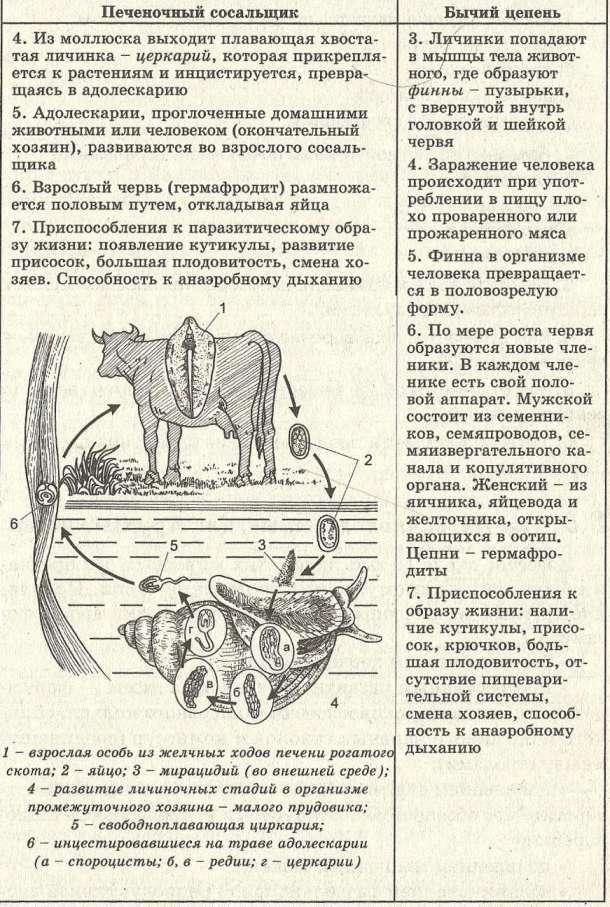 свиной цепень таблица
