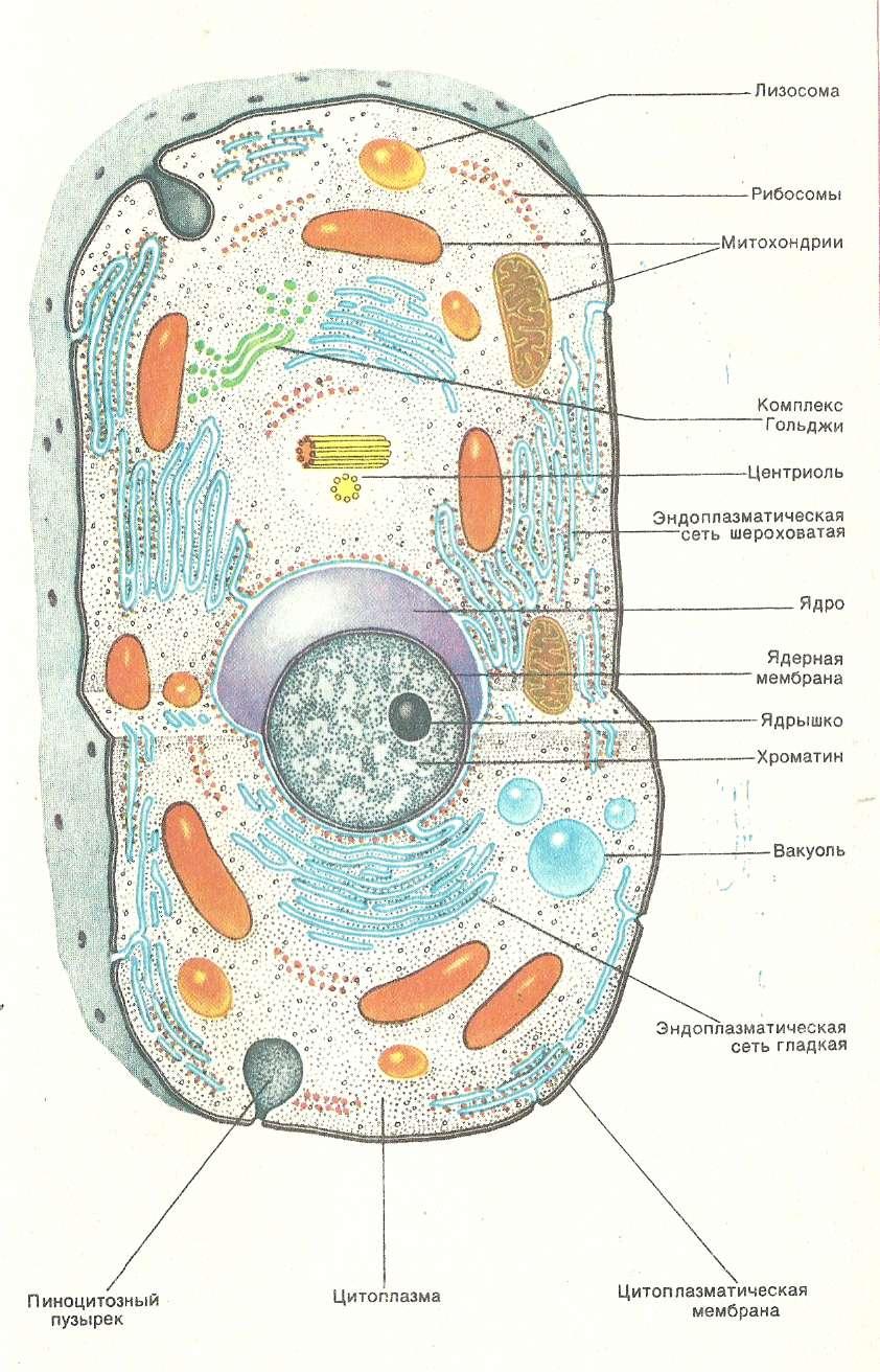 изготовить под картинки строение клеток животного доме сделано