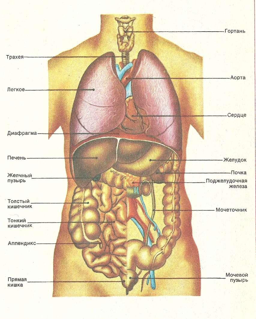 Анатомия человека внутренние органы в картинках сзади
