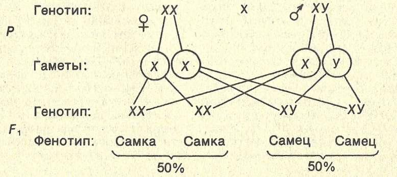 Схема наследования пола