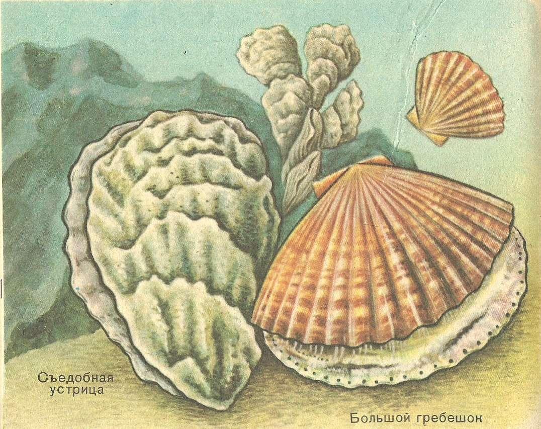 моллюски фото двустворчатые