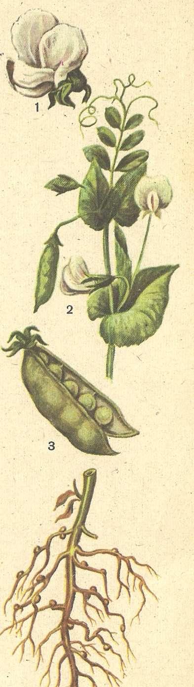 Картинки для детей растение горох