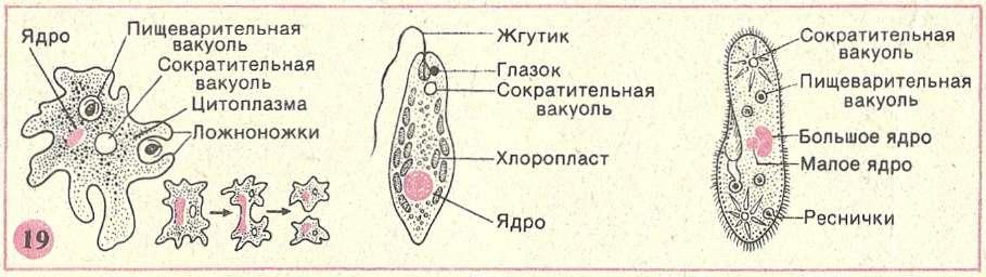 инфузории
