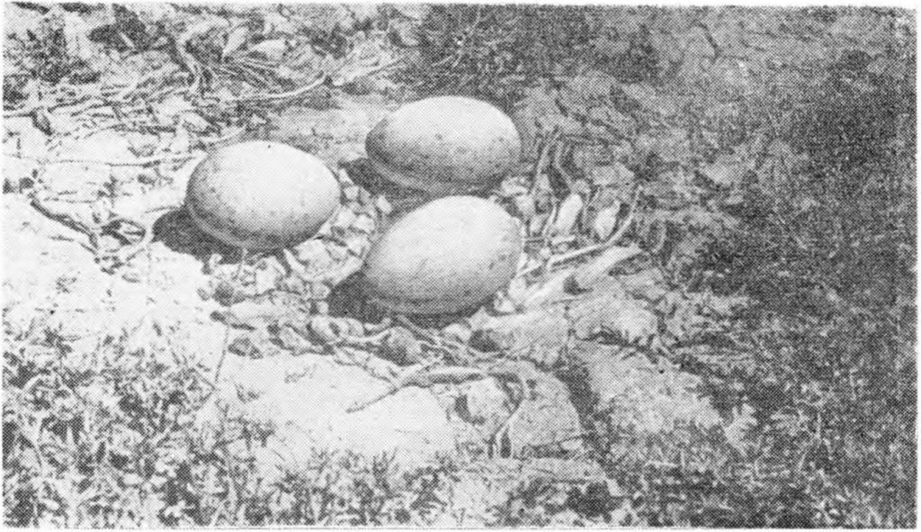 Рис. 192. Гнездо журавля-красавки. Фото Д. И. Чекменева.