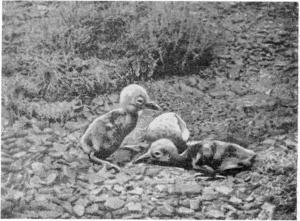 Рис. 193. Птенцы журавля-красавки. Фото Д. И. Чекменева.