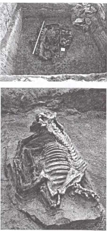 Рис. 8. 29-е погребение. Погребальная яма, скелет лошади без головы