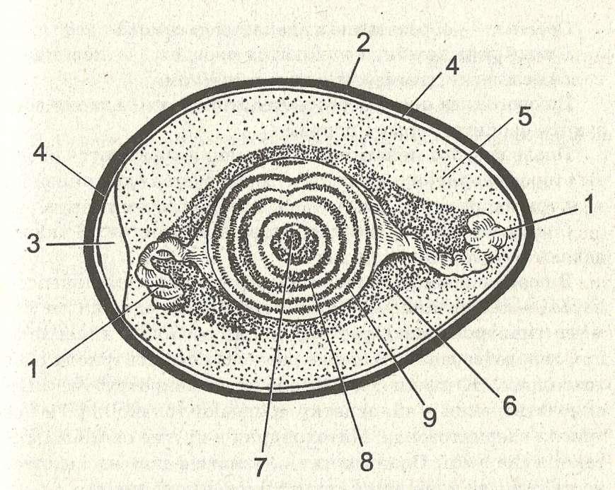 Строение яйцеклетки птицы: 1