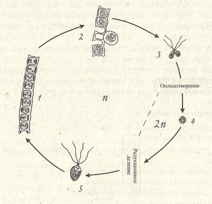 Жизненный цикл улотрикса: 1