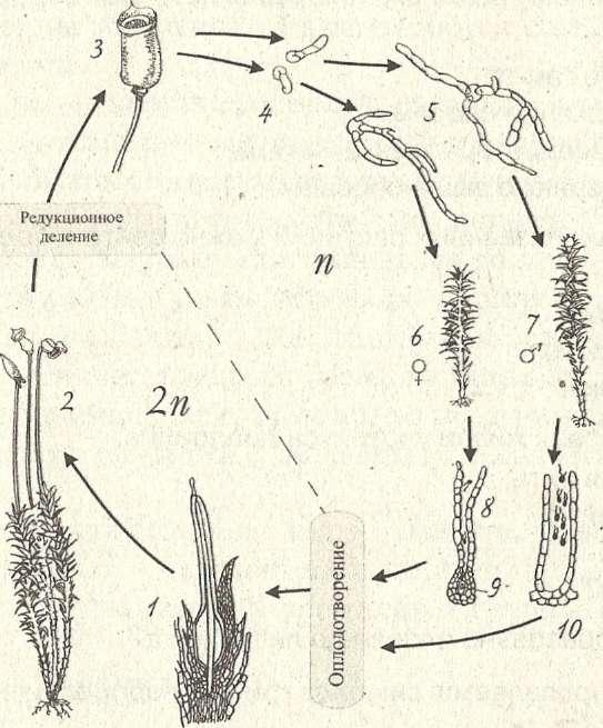 Жизненный цикл мха (кукушкин