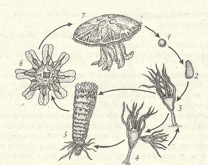 7 — взрослая медуза