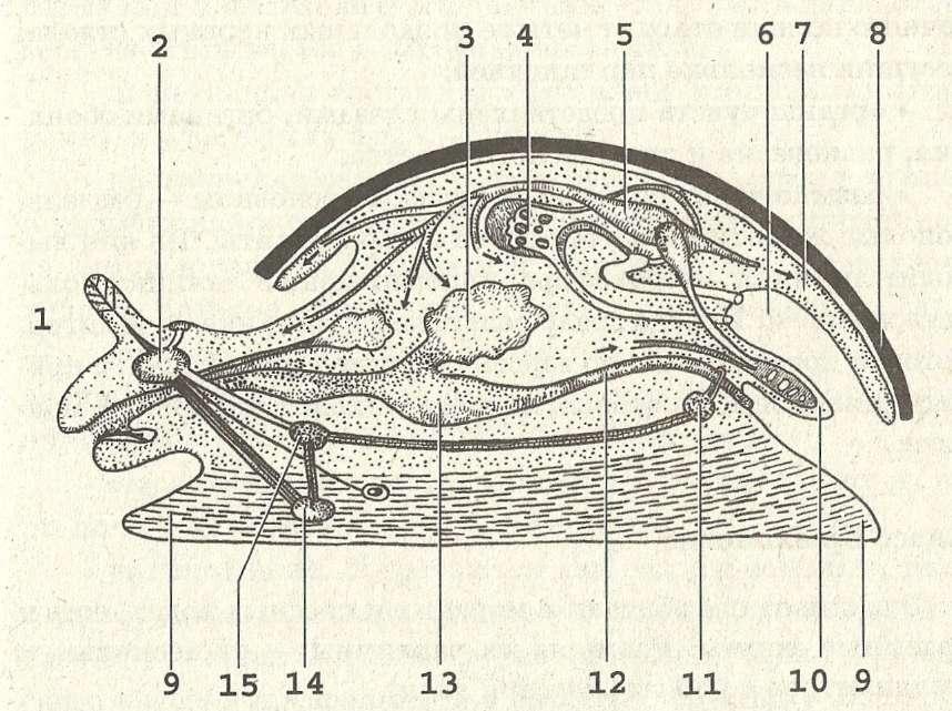 Тип Моллюски. Класс