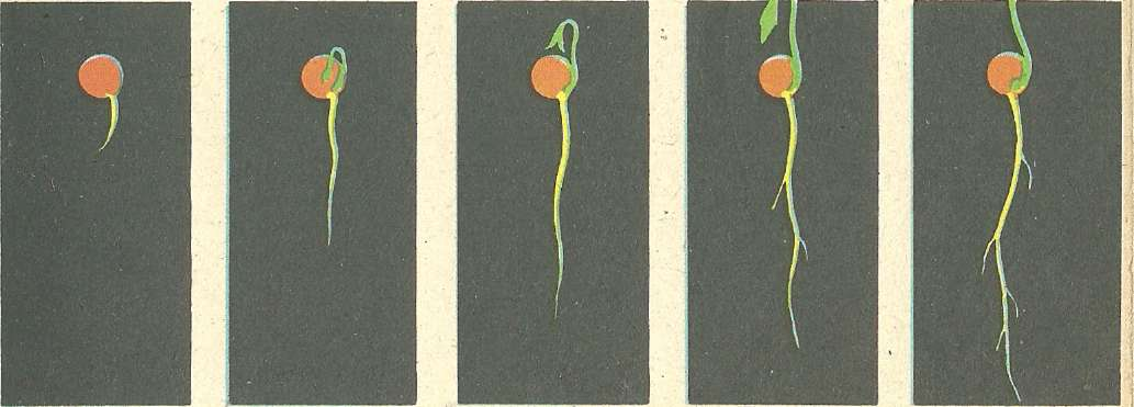 Условия прорастания семян.