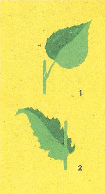 Однодольные растения нарисовать