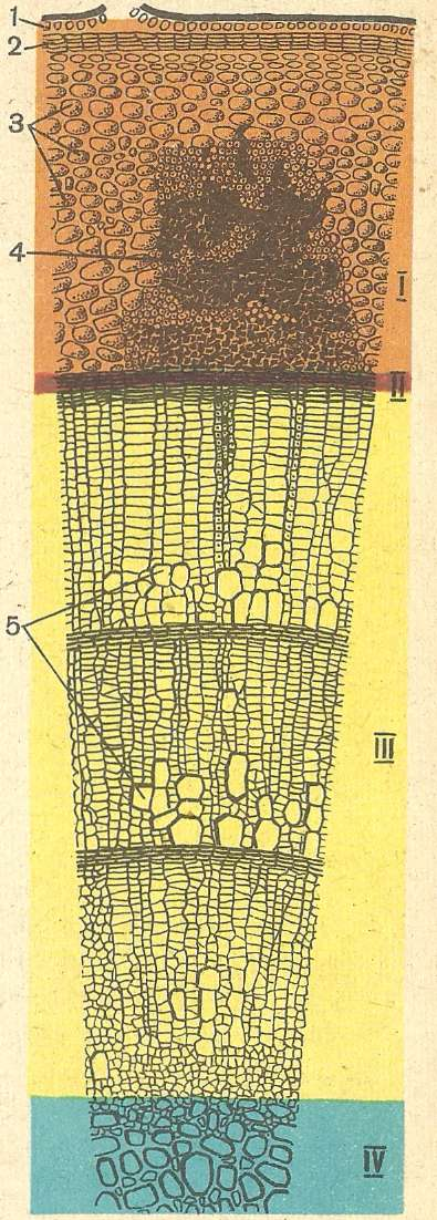 Внутреннее строение стебля.