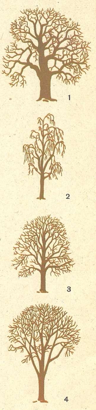 Как различить деревья зимой картинки деревьев