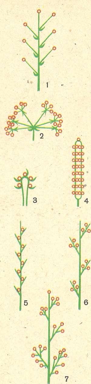Виды соцветий (схемы):
