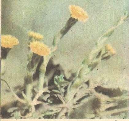 Актинидия коломикта уход посадка сорта саженцы
